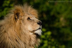 Lion 02 by Alannah-Hawker