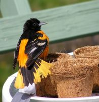 Male Oriole 9 by loopyker-stock