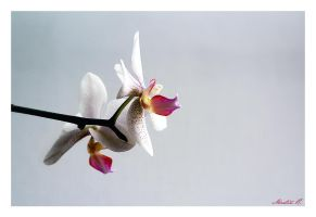 Orchidee by LLr0cks