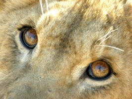 Lion Eyes by Jenvanw