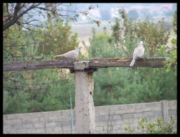 two pigeon by myblesgb