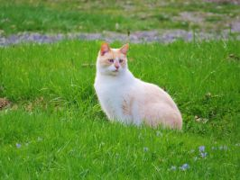 Siamese Cat Stock 6588 by sUpErWoLf--StOcK