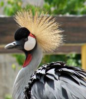 Grey Crowned Crane 1 by a6-k