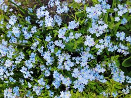 Forget me Nots by Loulou13