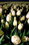 Tulips of the Damned by indorock