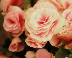 Pink by gb-photos