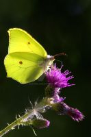 Brimstone Butterfly 2 by naturelens