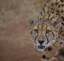 Cheetah stare by alecd