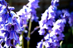bluebell 2 by Priddlee
