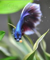 Halfmoon Betta: The Hunt by MichelleRamey