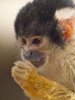 Squirrel Monkey - Jul 11 by mszafran
