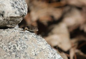Lizard on the Lookout 4 by IlluminatedNewt