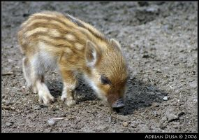 Baby boar by adusa