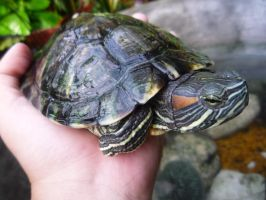Turtle by pink121