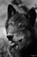 black wolf portrait by Yair-Leibovich