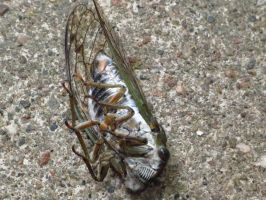 Flopped Over Cicada by Kitteh-Pawz