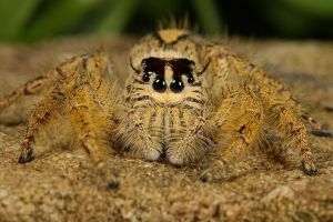 Jumping spider internet buy by macrojunkie