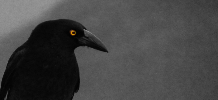 The Pied Currawong (Cropped) by RyaniteDesign