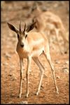 Gazelle by Shoayb