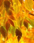 Autum Leaves by 1001G