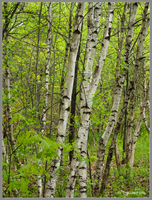 Birches in Spring by Mogrianne