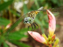 Small Dragonfly at Rest by Fail-Avenger