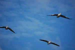 Flying Pelicans by Psittacidae13