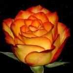 A rose for Klaudia by Dieffi