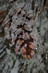 frosted pinecone by beLIEveyourheart