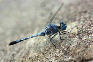 Blue dragonfly 3 by AngiWallace