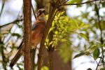 Vlaamse gaai or euroasian jay by pagan-live-style