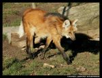Maned Wolf Striding by leopatra-lionfur