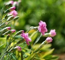 Pink flowers by NaViGa7or