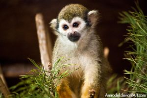 Squirrel Monkey VI by amrodel