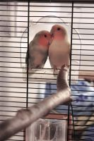 Love birds by Polyanthum