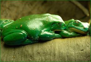Mexican Dumpy Frogs by justfrog
