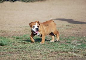 Bull Dog at Balboa by ShannonCPhotography