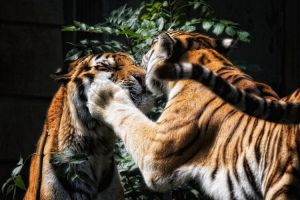 Tigers kisses by 00Tiger00