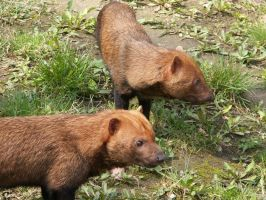 Bush Dog 01 by animalphotos