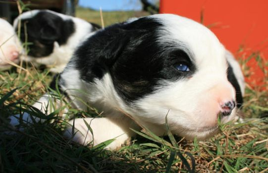 Miniature Aussie Pup: Montana by ButterflyElements