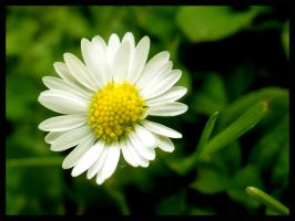 Daisy - clear macro by What-is-worth