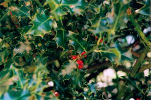 Holly Berries by sophierevell