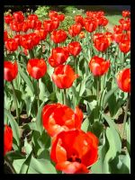 A Sea of Red Tulips by bekaboo