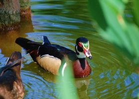 Wood Duck by shapu