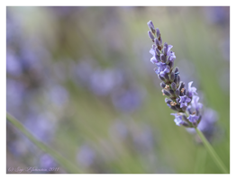 Lavender in the afternoon by Vampirbiene