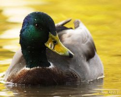 Golden Duck by AlinaKurbiel
