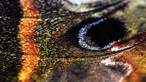Cecropia Moth wing detail by Meddling-With-Nature