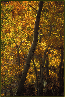 Green and Gold Aspens no. 2 by shagie