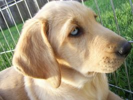 Blue eyed Labrador retreiver by kittysushii
