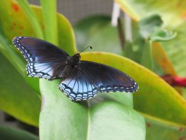 Red spotted purple 2 by Sorath-Rising